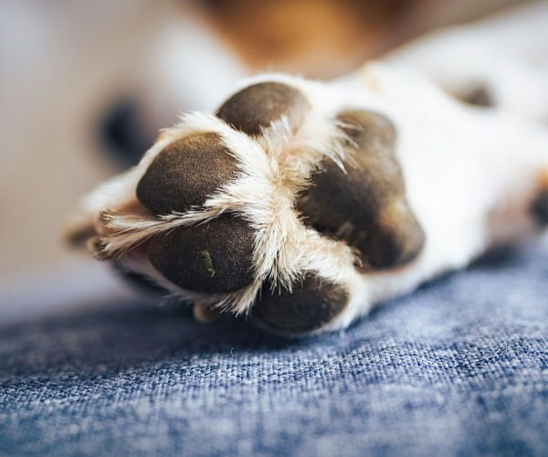 Macro shoot of beagle dog paw feet and nails blurry head in background